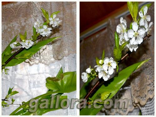 веточка вишни цветущая